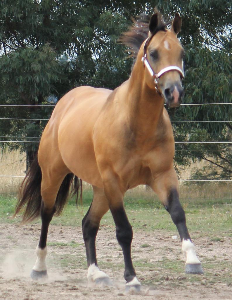 Buckskin quarter horse stallion - photo#1