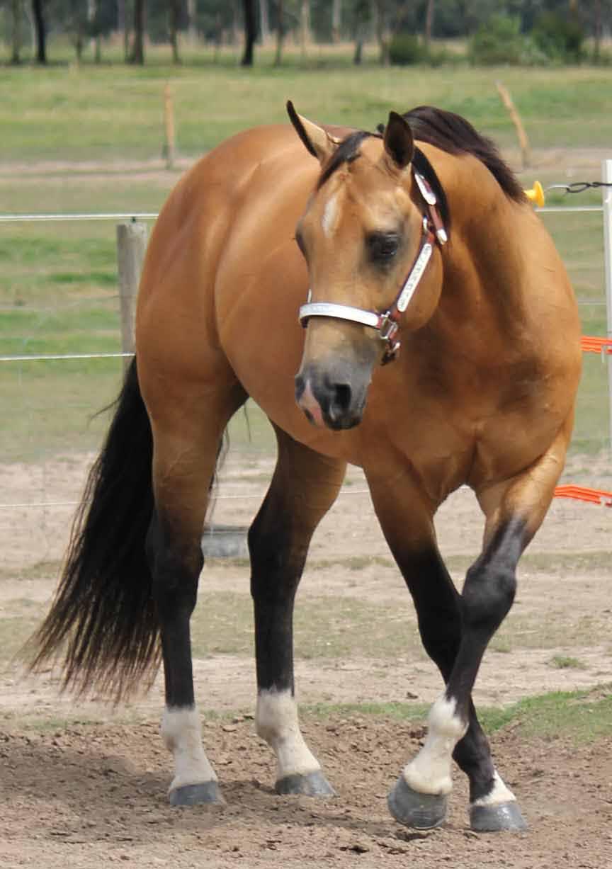 Buckskin quarter horse stallion - photo#21